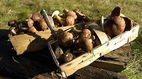 Was in den Korb kommt, sollte jeder Pilzsammler genau kennen.