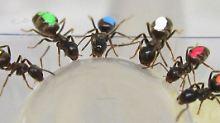 Eine Art der Selbstkontrolle: Ameisen krabbeln zum größeren Futterstück