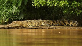 Salzwasserkrokodile stehen in Australien seit den 70er Jahren unter Artenschutz.
