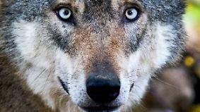 Zahl gerissener Tiere steigt: Wölfe beschäftigen niedersächsische Wahlkämpfer