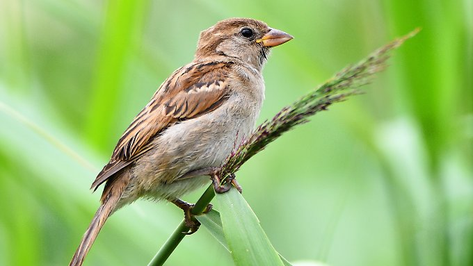 Der Spatz ist nach Daten von Hobby-Forschern der häufigste Vogel in Deutschlands Gärten.