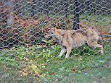 Fangerfolg im Bayerischen Wald: Entlaufende Wölfin tappt in Falle