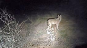 Angst vor dem Menschen verloren: Wölfe tyrannisieren israelischen Nationalpark