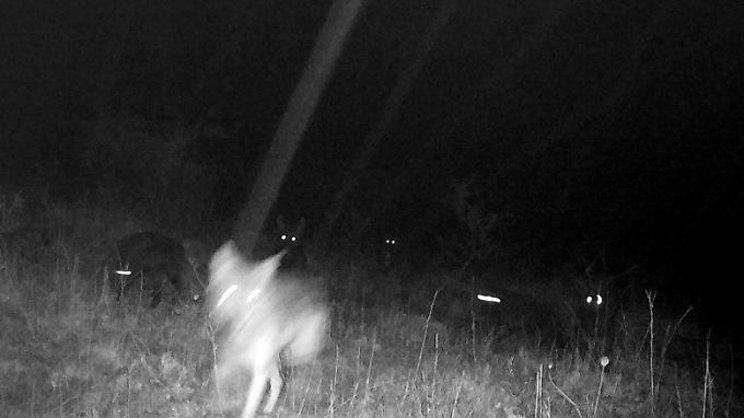 Aufnahmen einer Fotofalle vom Oktober zeigen die Wolfshybriden.