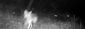 Kein Abschuss in Thüringen: Wolfshybriden müssen doch nicht sterben