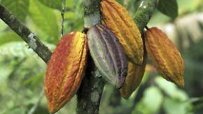 Schokolade im Überfluss: Rekordernte lässt Kakaopreis fallen
