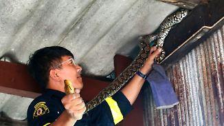 29.000 gefangene Tiere in einem Jahr: Bangkok leidet unter Schlangenplage