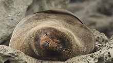 Einige der Robben müssen einzeln weggetragen werden, um Bauarbeiten nicht zu behindern.