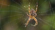 Die Kreuzspinne in ihrem Netz ist im Herbst ein vertrauter Anblick. Doch wo ist sie ein paar Wochen später?