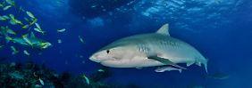 Tigerhai-Attacke: Hai tötet Urlauberin vor Costa Rica