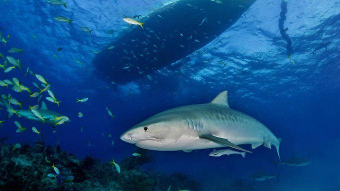 Der Hai-Angriff auf die US-amerikanische Touristin ist bislang der folgenschwerste vor der Küste Costa Ricas.