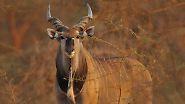 Für ähnlich gefährdet halten sie inzwischen auch die Riesen-Elenantilope. Während es 1999 noch bis zu 20.000 dieser Tiere gab, sind es jetzt nur noch höchstens 14.000. Die Antilopenart lebt in Afrika, ...