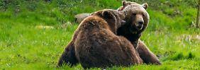 Platzmangel im Zoo: Dänen töten gesunde Braunbären