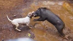 Blutige Tradition in Indonesien: Brutale Hundekämpfe erheitern Dorfbewohner
