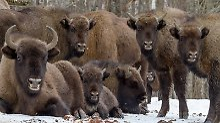 Wilde Tiere auf der Fähre: 17 Wisente siedeln nach Russland um