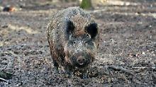 """""""Sie kommt näher"""": Neue Schweinepest alarmiert Landwirte"""