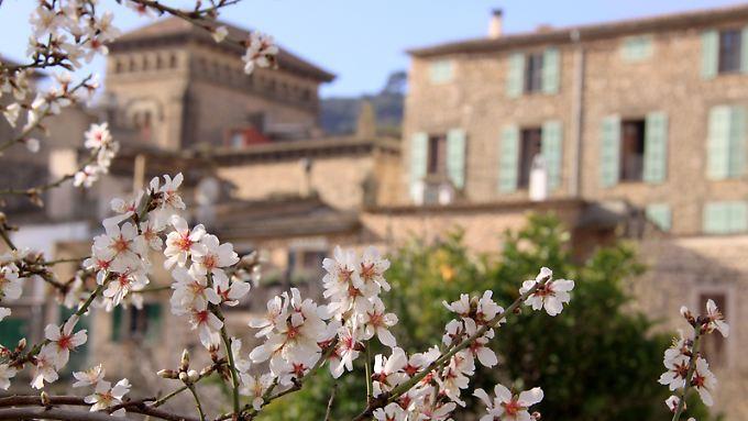 Frühlingshaftes Ambiente im Februar auf Mallorca: blühende Mandelbäume in Valldemossa.