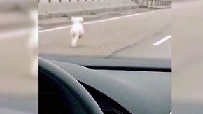 Kaum zu glauben, aber wahr: Pudel flieht auf Bundesstraße vor Polizei