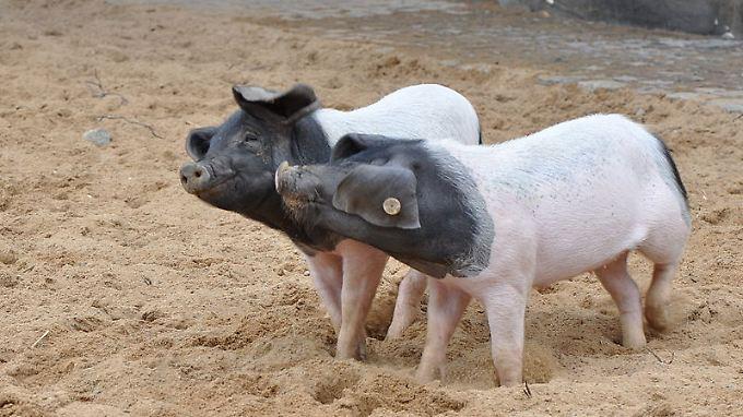 Das Schwäbisch-Hällische Landschwein wächst im Norden Württembergs gesund heran – mit gentec-freiem Futter aus der Region, auf Stroheinstreu und viel Auslauf.