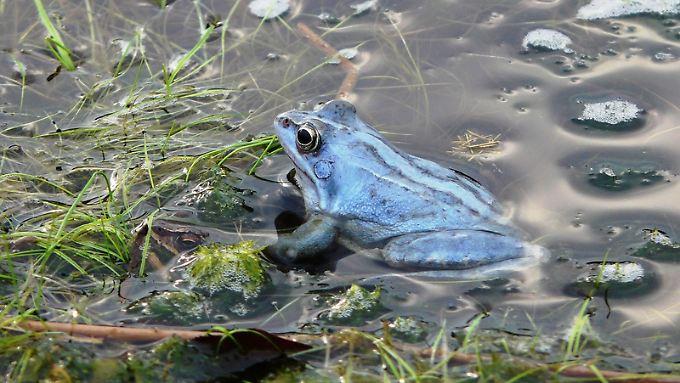 Blauer Frosch im Moor: Wer die Tiere so nah aufnehmen will, sollte eine gute Kamera mitnehmen.