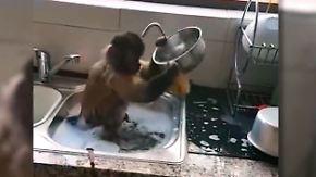 Kaum zu glauben, aber wahr: Affe wird zur fleißigen Haushaltshilfe