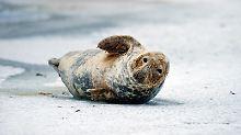 Eine Kegelrobbe auf dem zugefrorenen Strelasund zwischen Stralsund und Greifswald: An der deutschen Ostseeküste wird der Bestand auf grob 100 Tiere geschätzt.