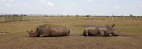 Breitmaulnashorn Sudan ist tot: Der letzte Bulle musste gehen