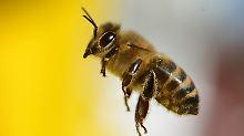"""""""Das Imkern wieder sexy machen"""": Startups bieten Honigbienen zur Miete an"""