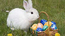 Tut nur so, als hätte es die Eier gebracht: ein Hauskaninchen. Zur Fleischproduktion werden Hauskaninchen auch in der Mast gehalten.