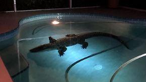 Kaum zu glauben, aber wahr: Alligator verirrt sich in Swimming-Pool