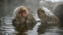 Vor allem dominante Makaken-Weibchen machen es sich im Onsen-Bad bequem.