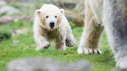 Wer also gerade einen Mini-Eisbären sehen will, muss bald nach Gelsenkirchen.