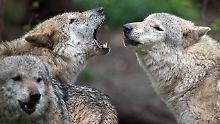 In Deutschland leben rund 800 Wölfe.