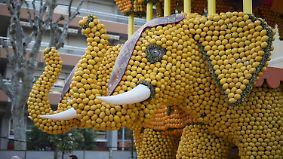 Gelbes Gold an der Côte d'Azur: In Menton dreht sich alles um Zitronen