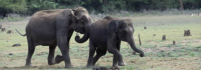 Das merkwürdige Verhalten von Elefanten vor dem zerstörerischen Tsunami 2004 soll einigen Menschen das Leben gerettet haben. Haben die Tiere besondere Antennen für solche Naturkatastrophen?