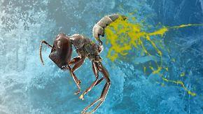 Giftiges Sekret tötet Feind: Kamikaze-Ameise explodiert bei Gefahr