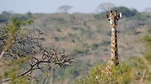 Tragischer Tod in Südafrika: Giraffe erschlägt Tierfilmer