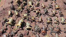 """""""Sargnagel"""" für Frosch und Co: Asiatischer Pilz löscht Amphibien aus"""
