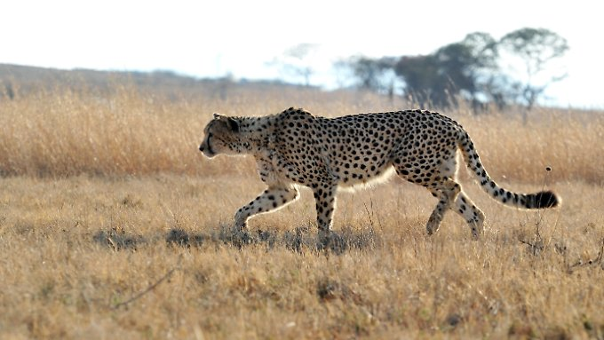 Solch einer Raubkatze möchte man lieber nicht ungeschützt begegnen: ein Gepard.