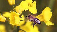 Gegen das Bienensterben: EU-Gericht bestätigt Auflagen für Insektizide
