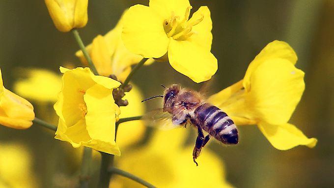 Unbeschwert Pollen sammeln, möglichst ohne Pestizidbelastung: Eine fleißige Biene bei Frankfurt.