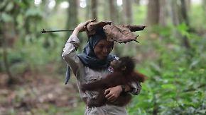 Regenschutz und Schlafnest bauen: Kleine Orang-Utans gehen auf Borneo in die Waldschule