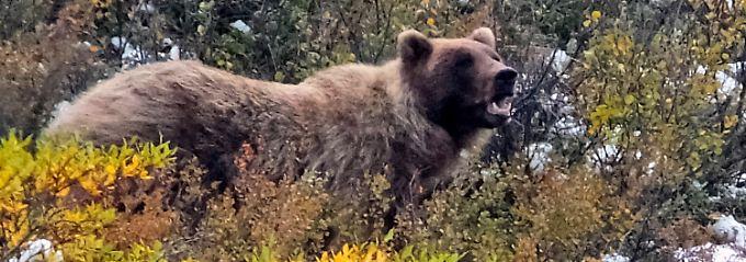 Wyoming erlaubt Abschuss: Grizzlys dürfen wieder gejagt werden