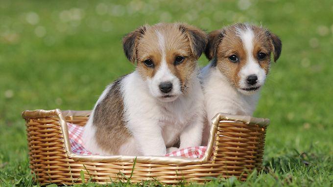 """Hundewelpen sind nicht nur süß, sie vermitteln mit ihrem Kindchenschema auch """"Hilf mir!""""."""