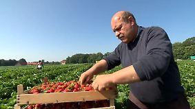 Früchte verfaulen auf den Feldern: Osteuropäische Erntehelfer meiden Deutschland