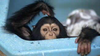 Dankbare Affen, trauernde Meerschweine: Haben Tiere Gefühle?