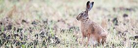 Ein Feldhase (Lepus europaeus): Für Hasen und einige Vogelarten ist es laut Deutscher Wildtier Stiftung bisher sogar ein eher gutes Jahr.