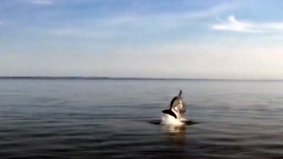 Seltene Sichtung in Lübecker Bucht: Delfin springt aus der Ostsee vor Kameras