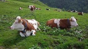Glückliche Kühe an der Klammbachalmhütte.