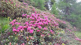 Almenrausch: Wenn die Alpenrosen, eine Azaleenart, blühen, schimmern die Hänge rosa.